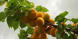 apricot_kernal