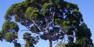 eucalyptus_tree