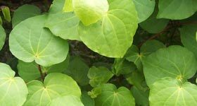 kawakawa-leaves