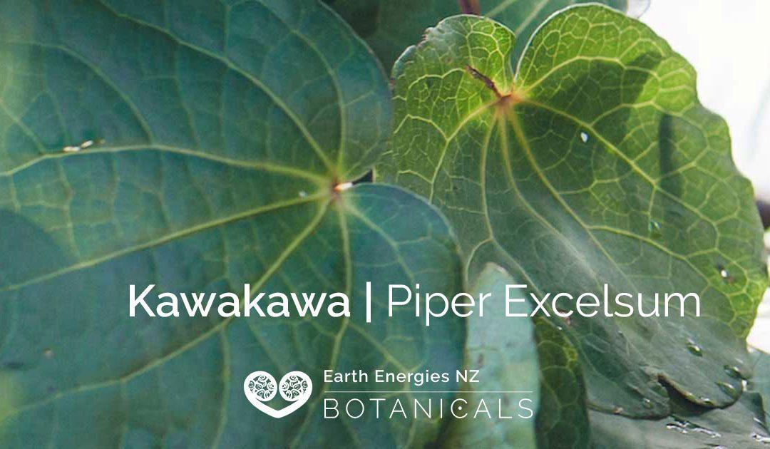 Kawakawa | Piper Excelsum
